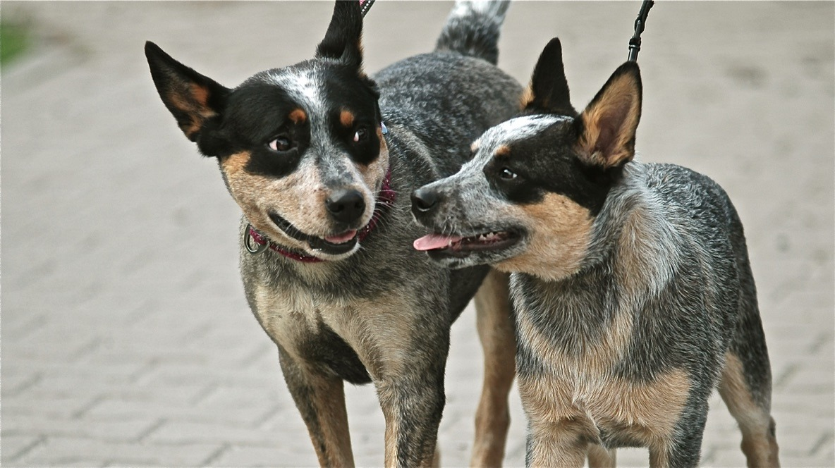 Dwa cattle dogs